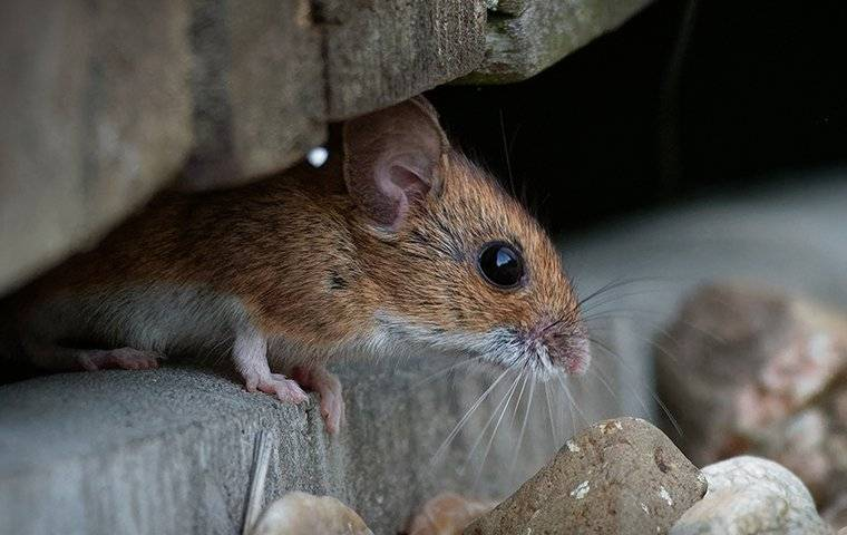 mouse in between several rocks