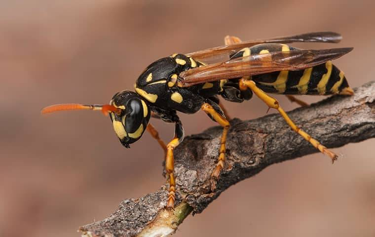 a stinging insect on a branch