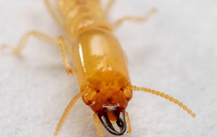 a termite face