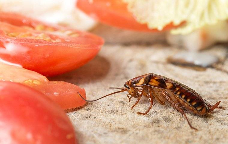 cockroach eating food