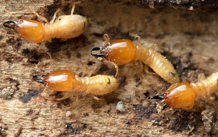 termites on chewed wood