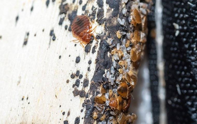 bed bugs on a bed frame