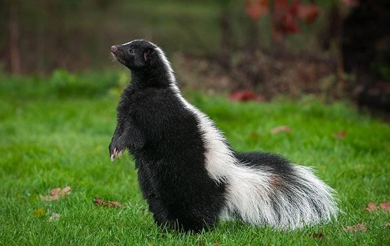 a skunk looking around