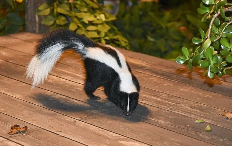 a skunk on a porch