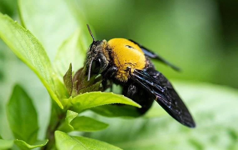 a carpenter bee