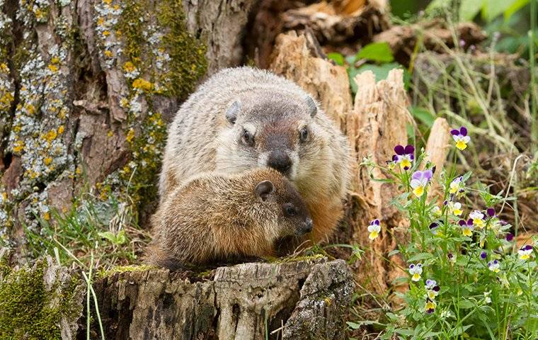 a woodchuck on someones property
