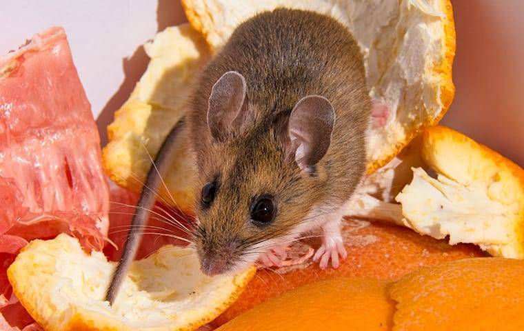 a house mouse crawling through food in a trash