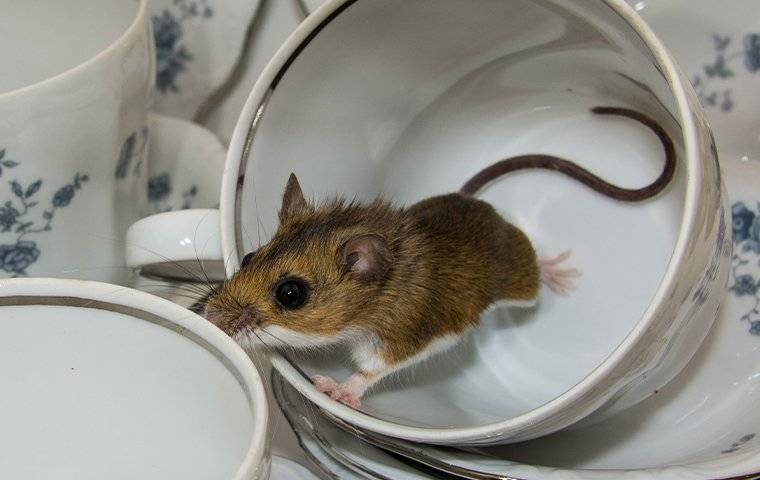 a house mouse in kitchen tea cups