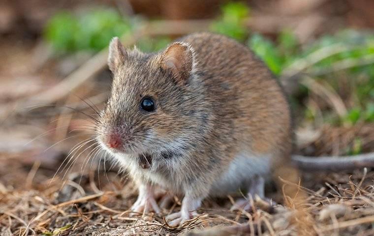 mouse crawling outside