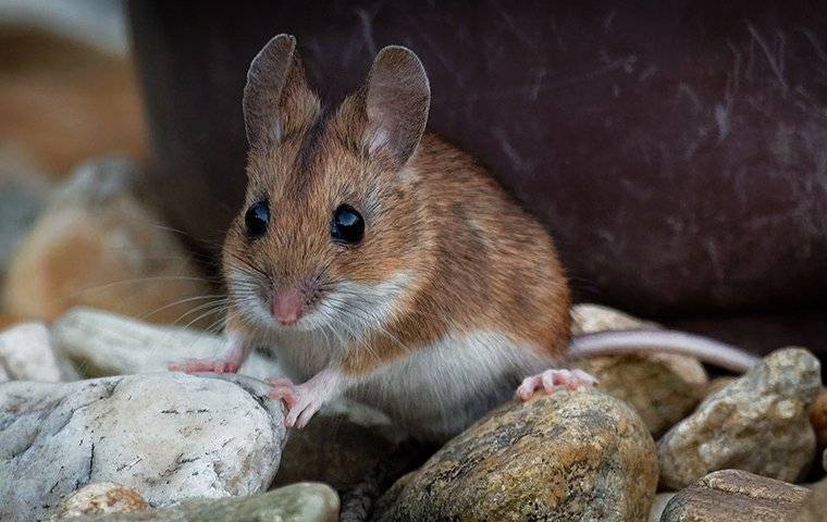 house mouse on rocks