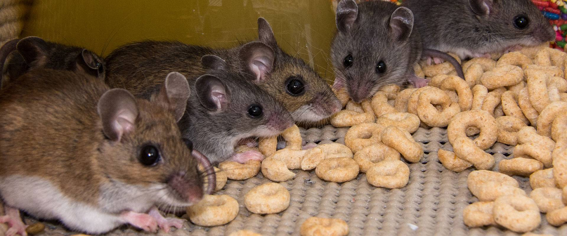 mouse eating cereal in a cupboard