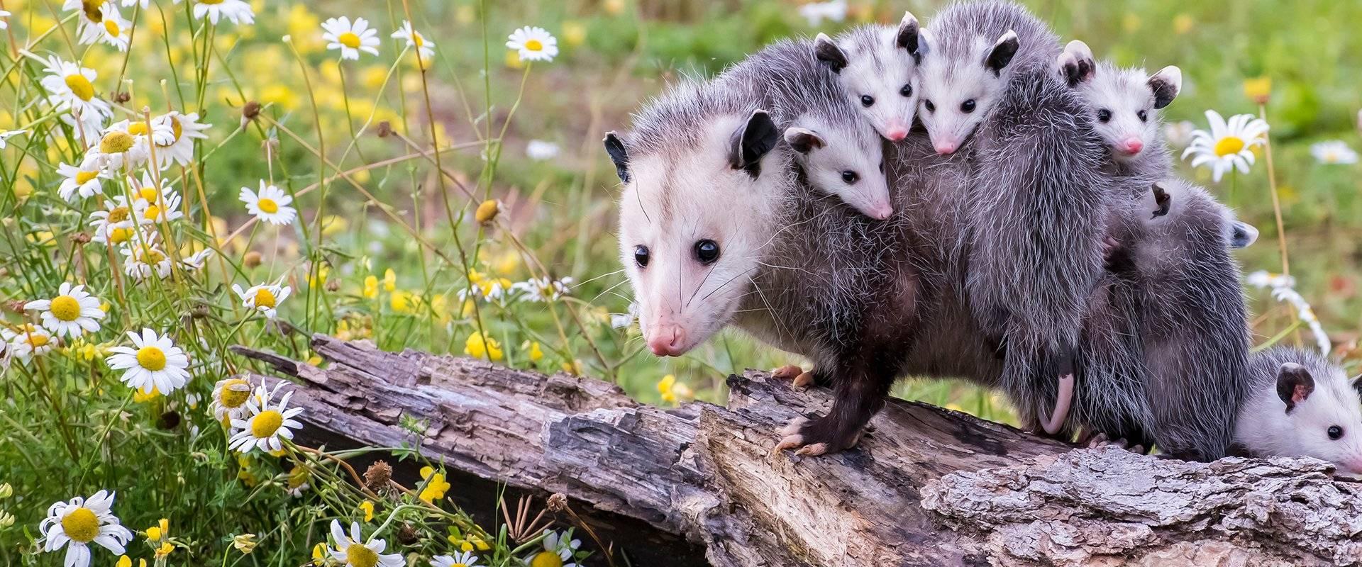 many opossums on a log