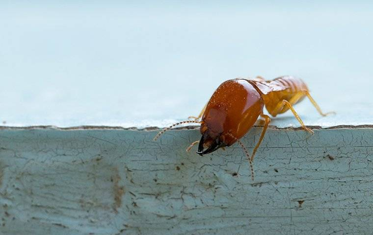 large termite on a blue board