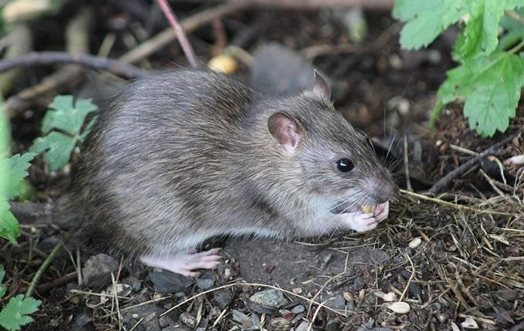 a gross rat eating