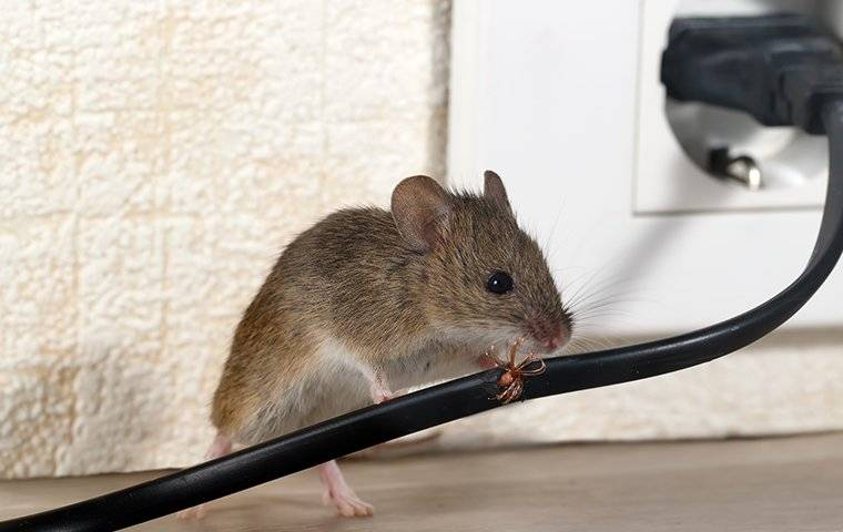 a mouse chewing wires