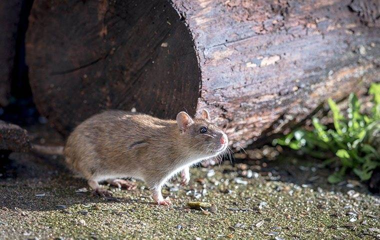rat crawling outside