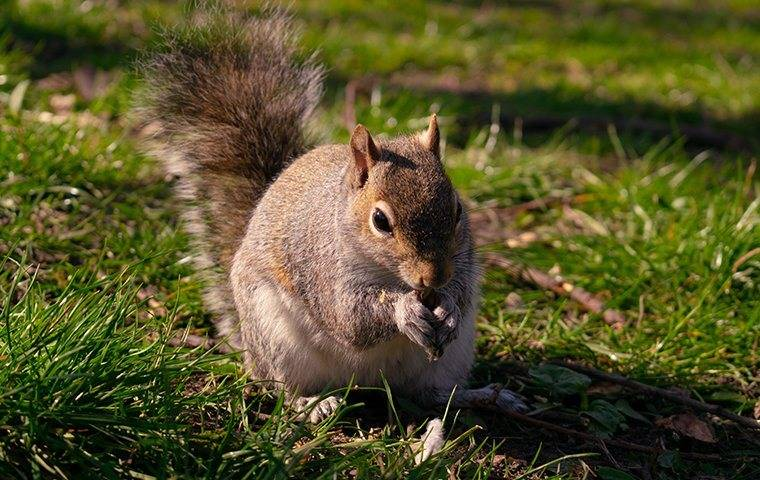 a squirrel eating nuts in a kingston new hampshire yard