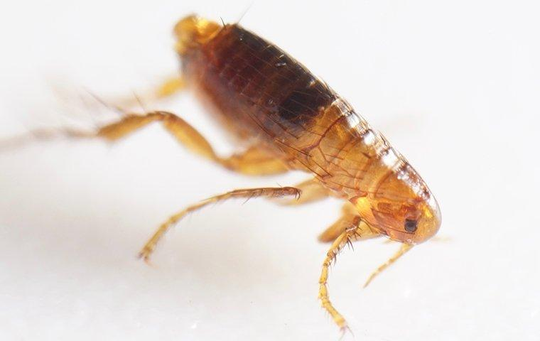 a flea infesttaion in a boston home