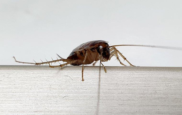 a german cockroach in a kitchen