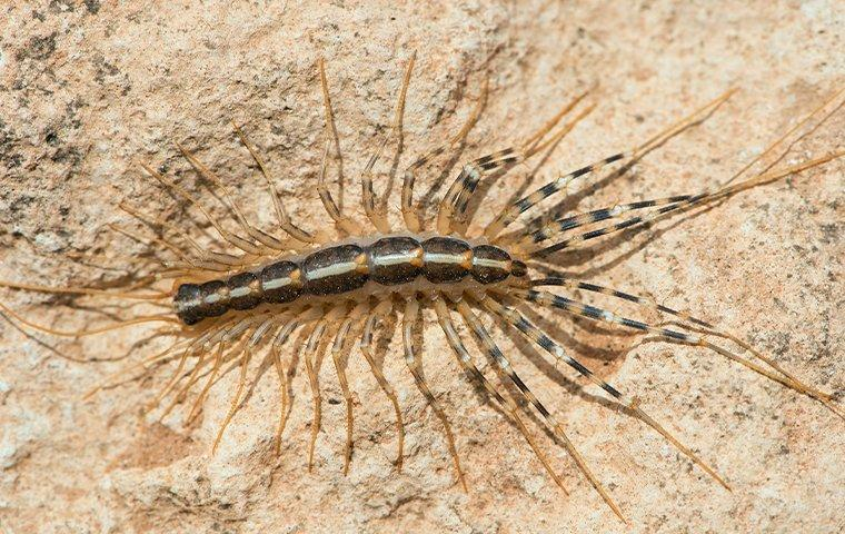house centipede on stone wall
