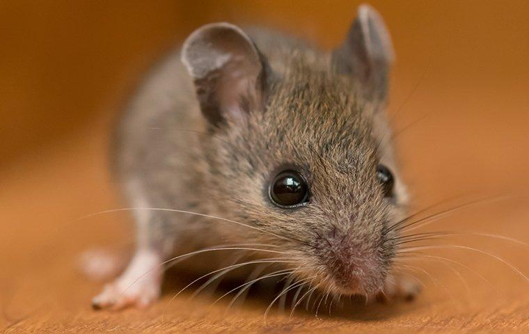 a house mouse crawling in a cupboard