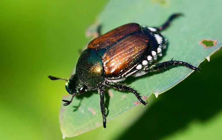 japanese beetle in garden