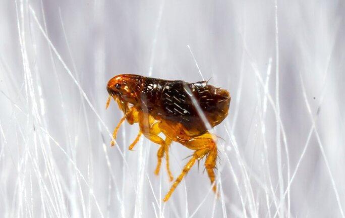 flea crawling in white pet hair