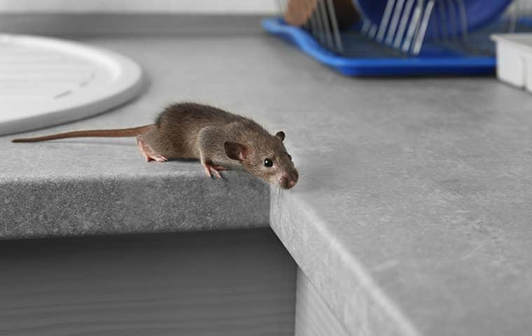 a rodent crawling around a kitchen counter