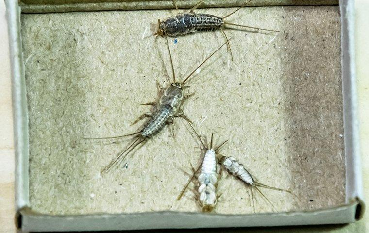 silverfish crawling on cardboard in a library