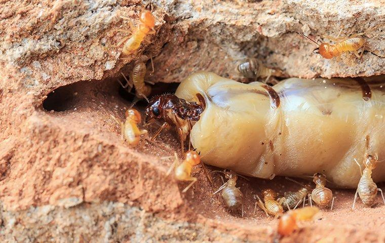 termites with the queen