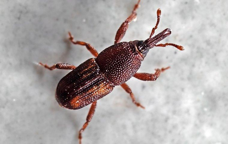 a weevil in stored rice