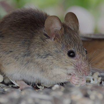 house mouse eating bird seed