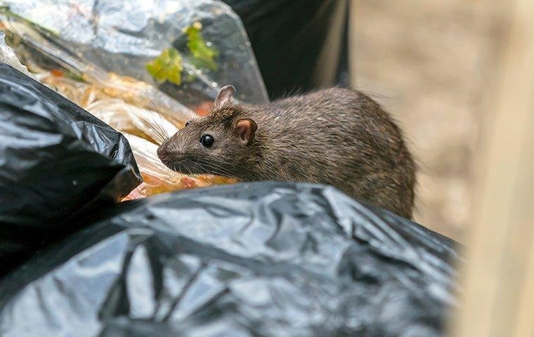 a rat in the garbage