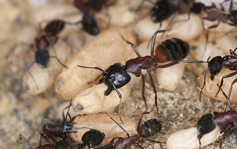 carpenter ants with larvae