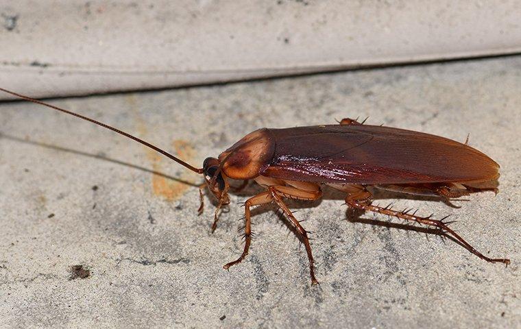 an american cockroach on a basement floor