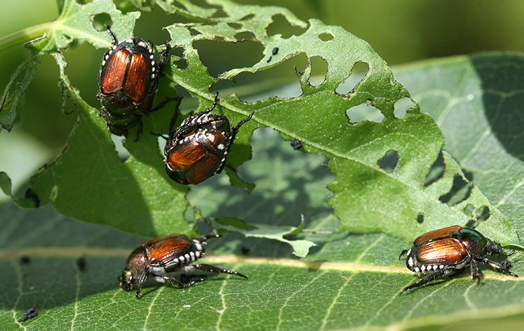 japanese beetles chewing holes in a leaf