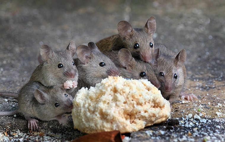 little house mice eating bread