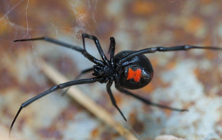 a black widow spider on a web