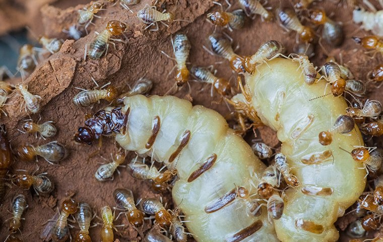 termites and the termite queen