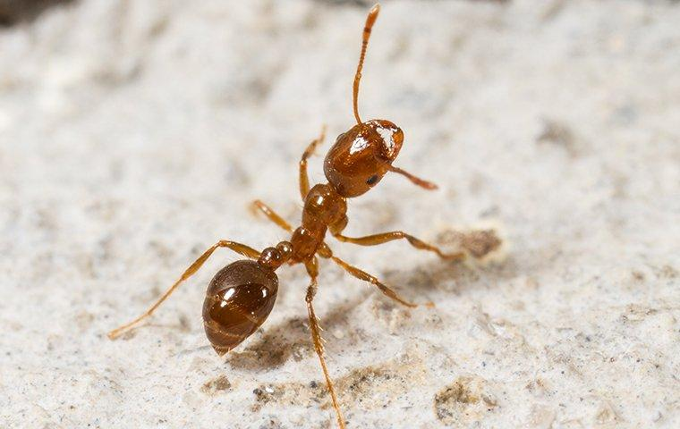 fire ant in a house
