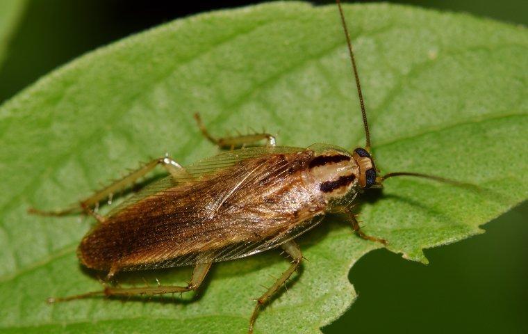 a german cockroach on a leaf