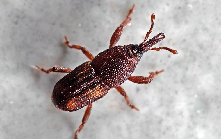 a small weevil
