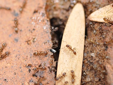 many argentine ants on a walkway outside a home in princeton illinois