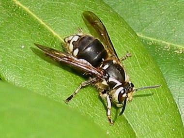 a bald faced hornet on a leaf outside a home in mendota illinois