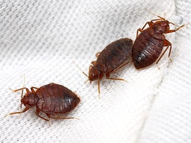 three bed bugs on a a bed in pekin illinois