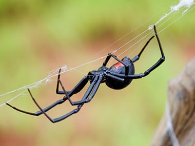 a black widow spider hanging from a web outside a streator illinois home