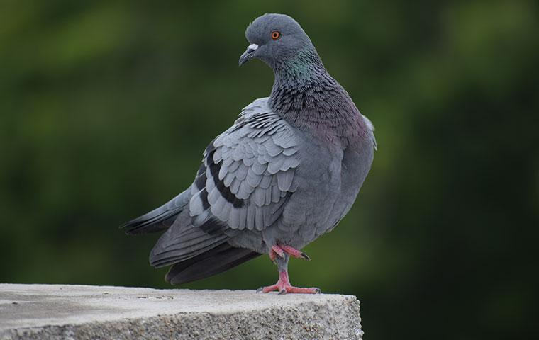 pigeon standing on cement