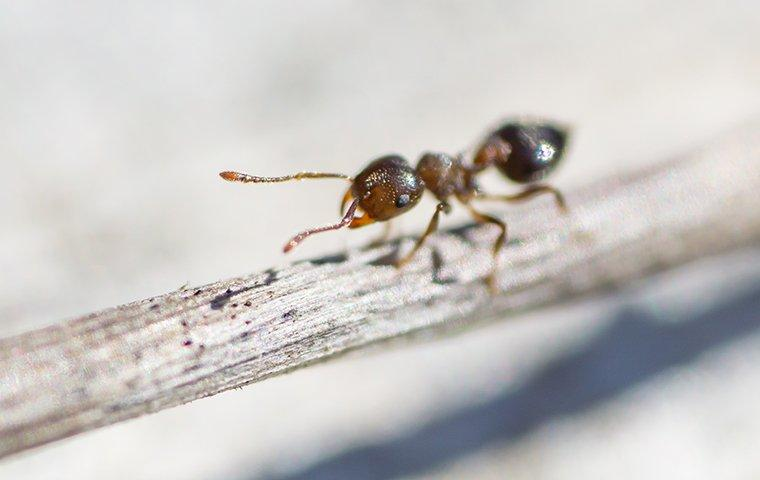an acrobat ant on a twig in a garden