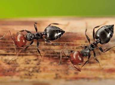 acrobat ant crawling on wood