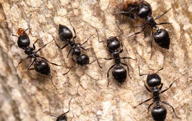 a group of acrobat ants on wood